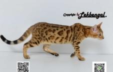 ขายลูกแมวเบงกอล ลายใหญ่ เพศเมีย อายุ 4 เดือน วัคซีนแล้ว