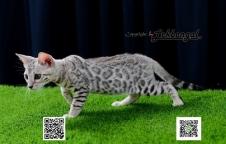 ลูกแมวเบงกอล สีซิลเวอร์ เพศเมีย พร้อมใบ TICA