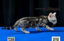 ขายลูกแมว อเมริกันชอตแฮร์ (American Short Hair) เพศผู้