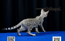 ลูกแมวเบงกอล สีซิลเวอร์ พันธุ์แท้ อายุ 3 เดือน เพศเมีย