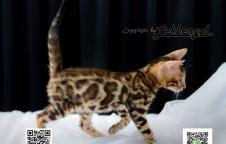 ขายลูกแมวเบงกอลสวย ลาย Spotted Rosetted Donut สอบถามราคาได้