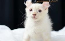 ขายลูกแมวแมวอเมิรกัน เคลอ แท้ (American Curl) เพศผู้