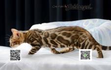 ขายลูกแมวลายเสือพันธุ์เบงกอลแท้ เพศเมีย พร้อมใบ TICA. ลายใหญ่