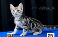 ขายลูกแมวสวย อเมริกันชอตแฮร์ (American Short Hair) เพศเมีย