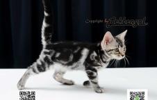 ขายลูกแมว อเมริกันชอตแฮร์ American Short Hair เพศเมีย