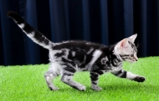 ขายลูกแมวสวย อเมริกันชอตแฮร์ American Short Hair เพศเมีย