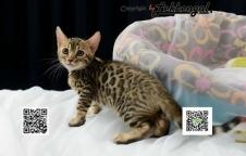ขายลูกแมวเบงกอล ลาย Spotted Rosetted อายุ 2 เดือนวัคซีนแล้ว