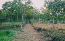 ขายที่ดิน อ.เมือง จ.สระแก้ว 46 ไร่ เป็นสวนยาง 5 ปี มะพร้าวน้ำหอม