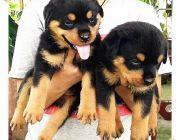 ขายลูกสุนัขร็อตไวเลอร์ ดีกรีแชมป์ จากฟาร์มคุณภาพประสบการณ์กว่า 10 ปี