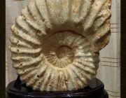 แอมโมไนต์ Ammonite ฮวงจุ้ยภายในบ้านป้องกันสิ่งไม่ดีชั่วร้าย