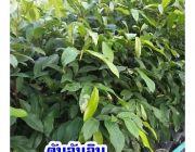 ต้นจันอิน